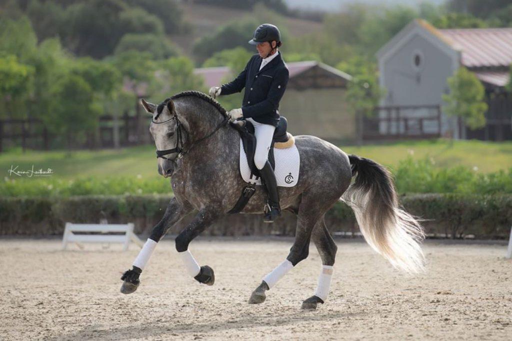 Doma clásica caballo pura raza española tordo