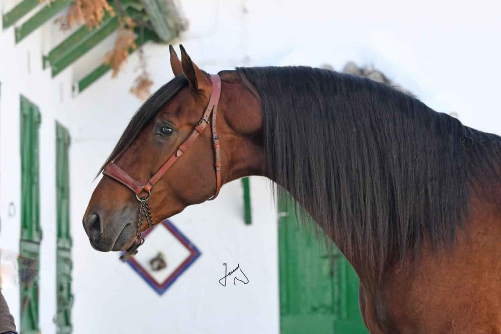 Andalusian horse for sale