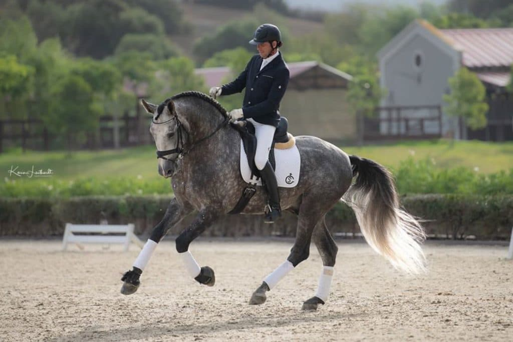 Andalusian Horse for dressage Sevilla
